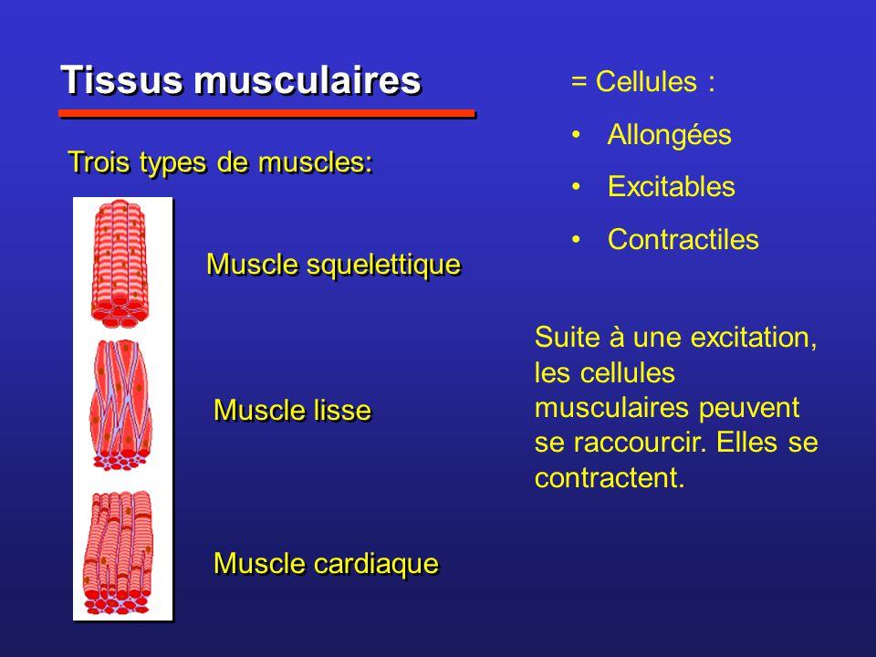 Tissus musculaires = Cellules : Allongées Excitables Contractiles Trois types de muscles: Muscle squelettique Muscle lisse Muscle cardiaque Suite à un