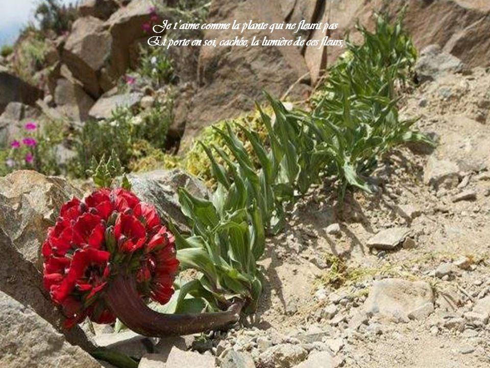 Je t'aime comme la plante qui ne fleurit pas Et porte en soi, cachée, la lumière de ces fleurs,