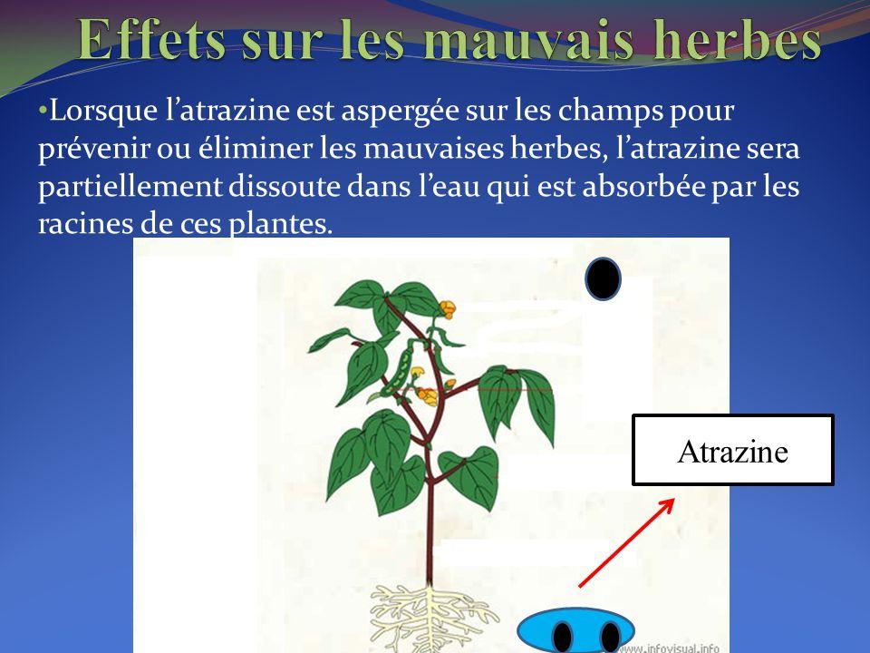 Lorsque l'atrazine est aspergée sur les champs pour prévenir ou éliminer les mauvaises herbes, l'atrazine sera partiellement dissoute dans l'eau qui e
