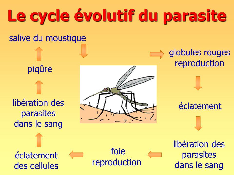 Le cycle évolutif du parasite libération des parasites dans le sang foie reproduction éclatement des cellules éclatement libération des parasites dans le sang globules rouges reproduction salive du moustique piqûre