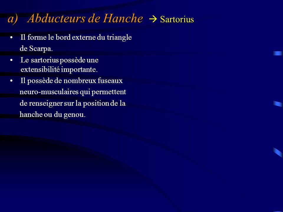 a) Abducteurs de Hanche a) Abducteurs de Hanche  Sartorius Il forme le bord externe du triangle de Scarpa. Le sartorius possède une extensibilité imp