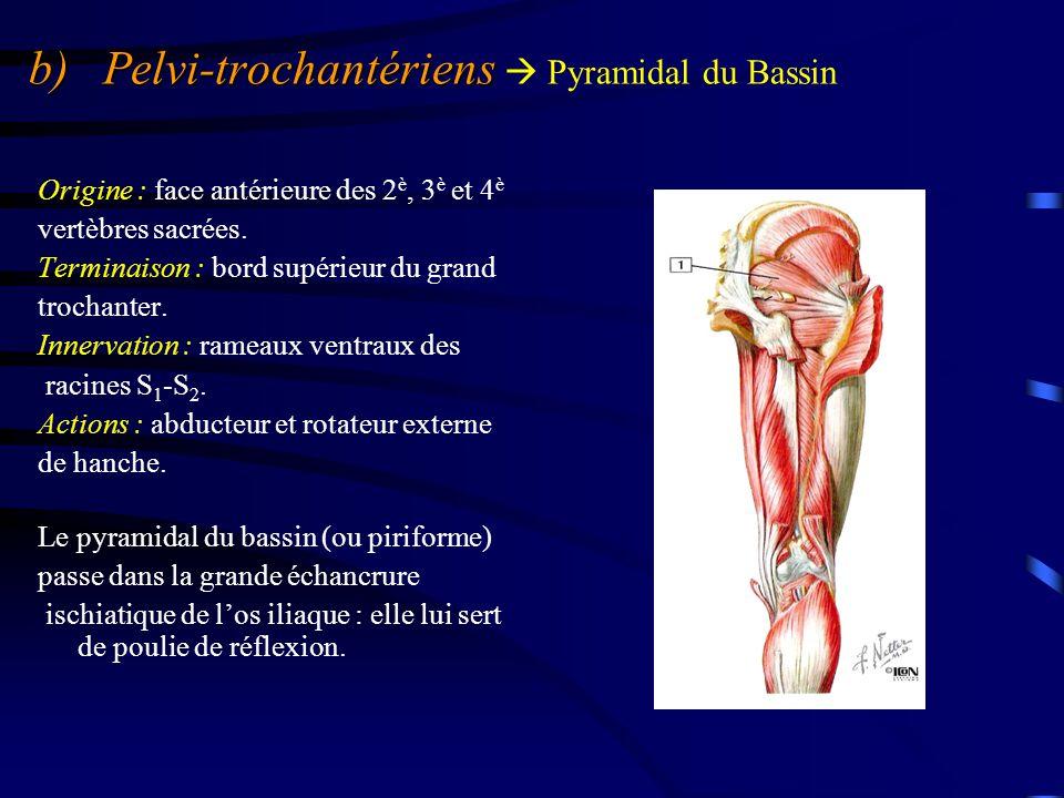 b) Pelvi-trochantériens b) Pelvi-trochantériens  Pyramidal du Bassin Origine : face antérieure des 2 è, 3 è et 4 è vertèbres sacrées. Terminaison : b