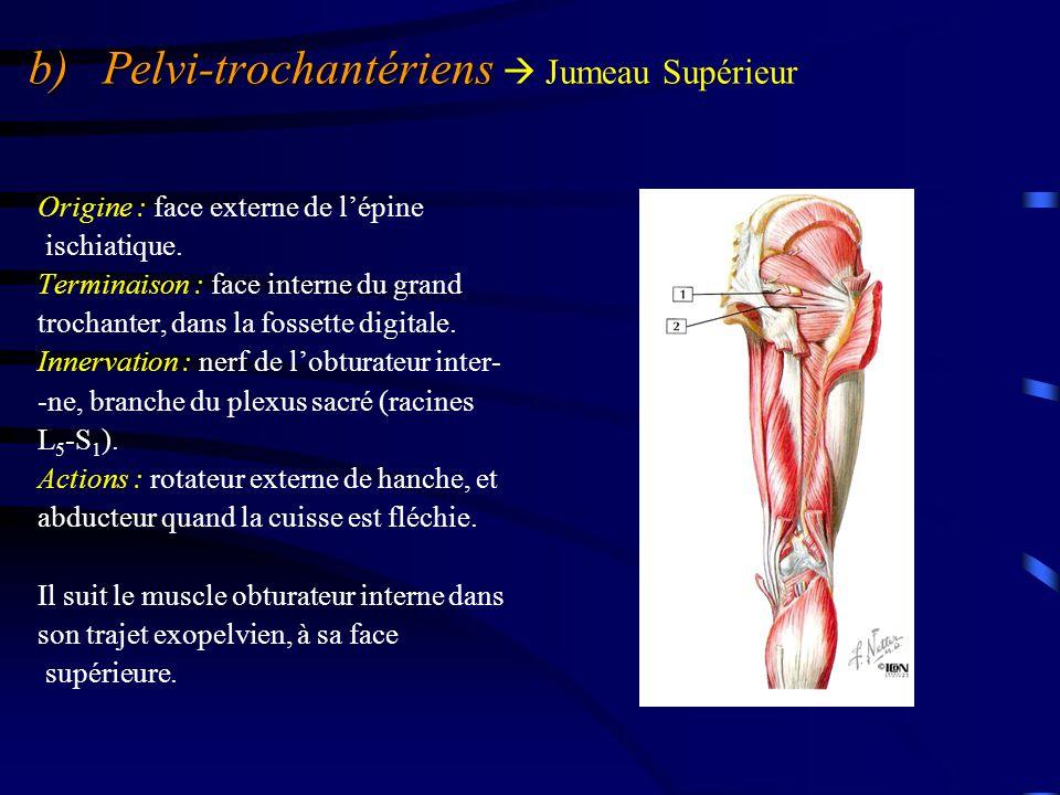 b) Pelvi-trochantériens b) Pelvi-trochantériens  Jumeau Supérieur Origine : face externe de l'épine ischiatique. Terminaison : face interne du grand