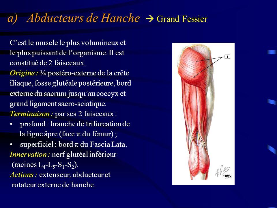 a) Abducteurs de Hanche a) Abducteurs de Hanche  Grand Fessier C'est le muscle le plus volumineux et le plus puissant de l'organisme. Il est constitu