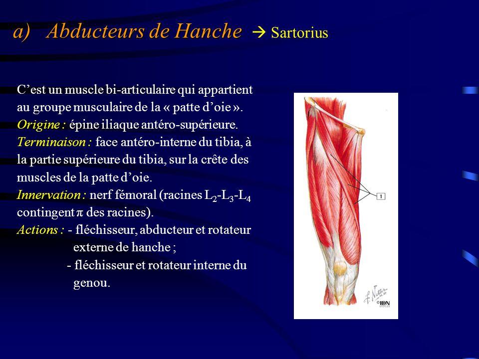 a) Abducteurs de Hanche a) Abducteurs de Hanche  Sartorius Il forme le bord externe du triangle de Scarpa.