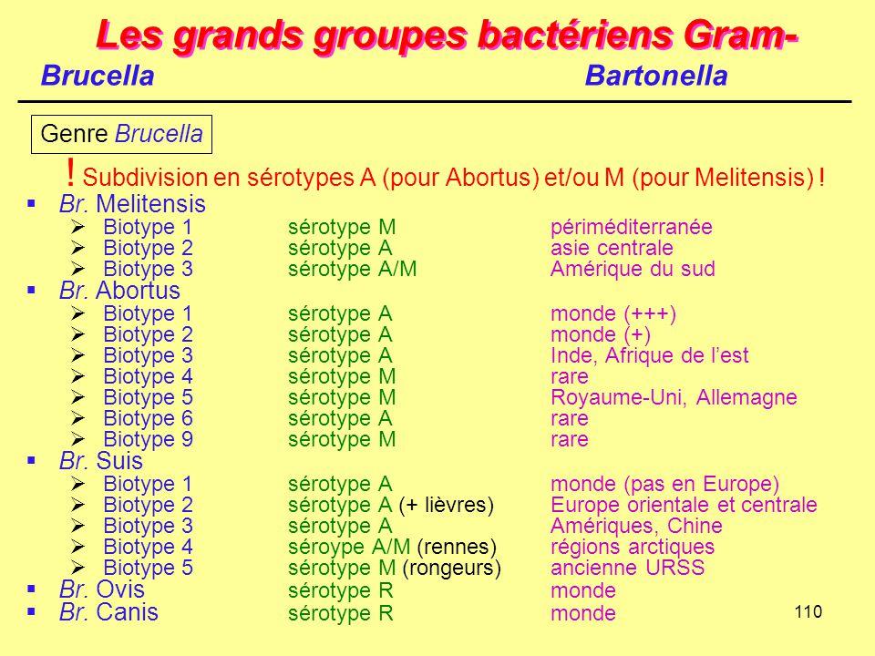 110 Les grands groupes bactériens Gram- ! Subdivision en sérotypes A (pour Abortus) et/ou M (pour Melitensis) !  Br. Melitensis  Biotype 1sérotype M