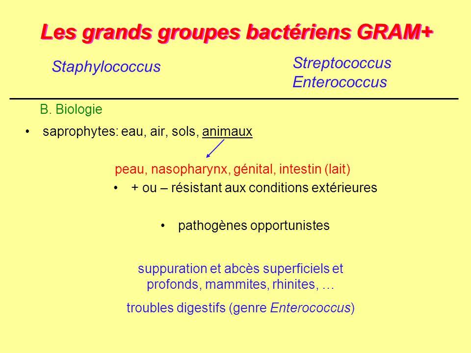 Les grands groupes bactériens GRAM+ saprophytes: eau, air, sols, animaux peau, nasopharynx, génital, intestin (lait) + ou – résistant aux conditions e