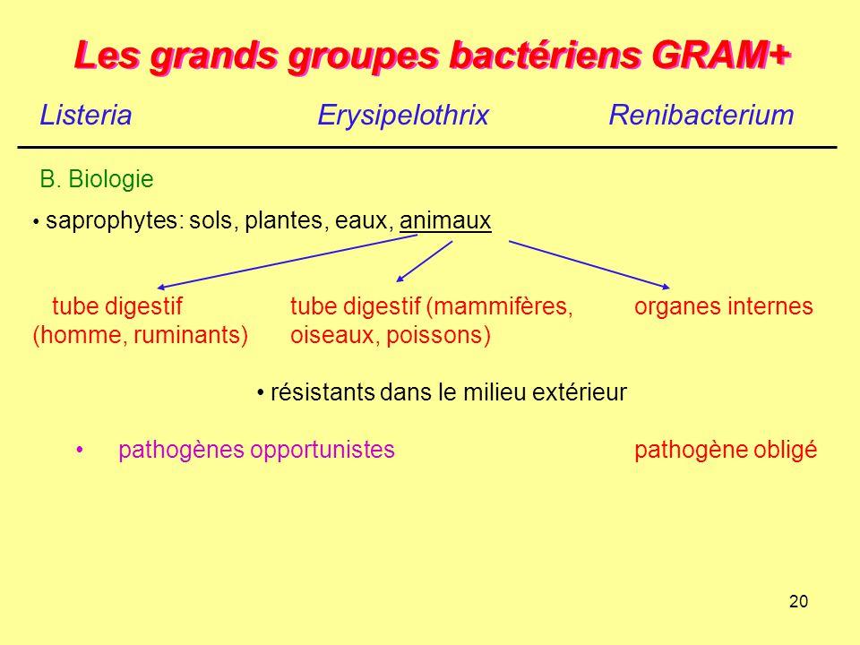 20 Les grands groupes bactériens GRAM+ ListeriaErysipelothrix B. Biologie Renibacterium saprophytes: sols, plantes, eaux, animaux tube digestiftube di