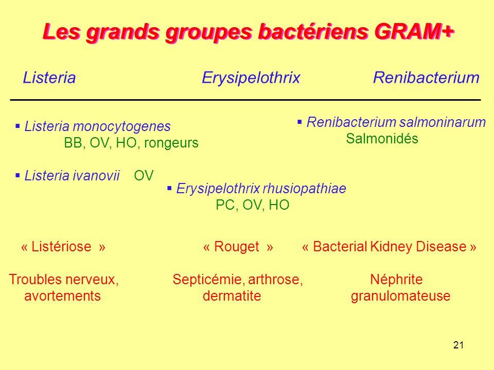 21 Les grands groupes bactériens GRAM+ ListeriaErysipelothrix  Listeria monocytogenes BB, OV, HO, rongeurs  Listeria ivanovii OV  Erysipelothrix rh