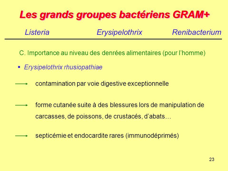 23 Les grands groupes bactériens GRAM+ ListeriaErysipelothrix  Erysipelothrix rhusiopathiae contamination par voie digestive exceptionnelle forme cut