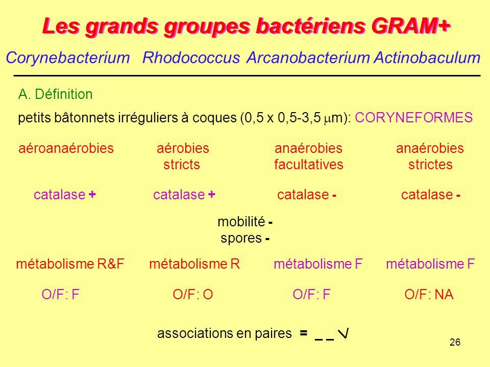 26 Les grands groupes bactériens GRAM+ petits bâtonnets irréguliers à coques (0,5 x 0,5-3,5  m): CORYNEFORMES mobilité - spores - associations en pai
