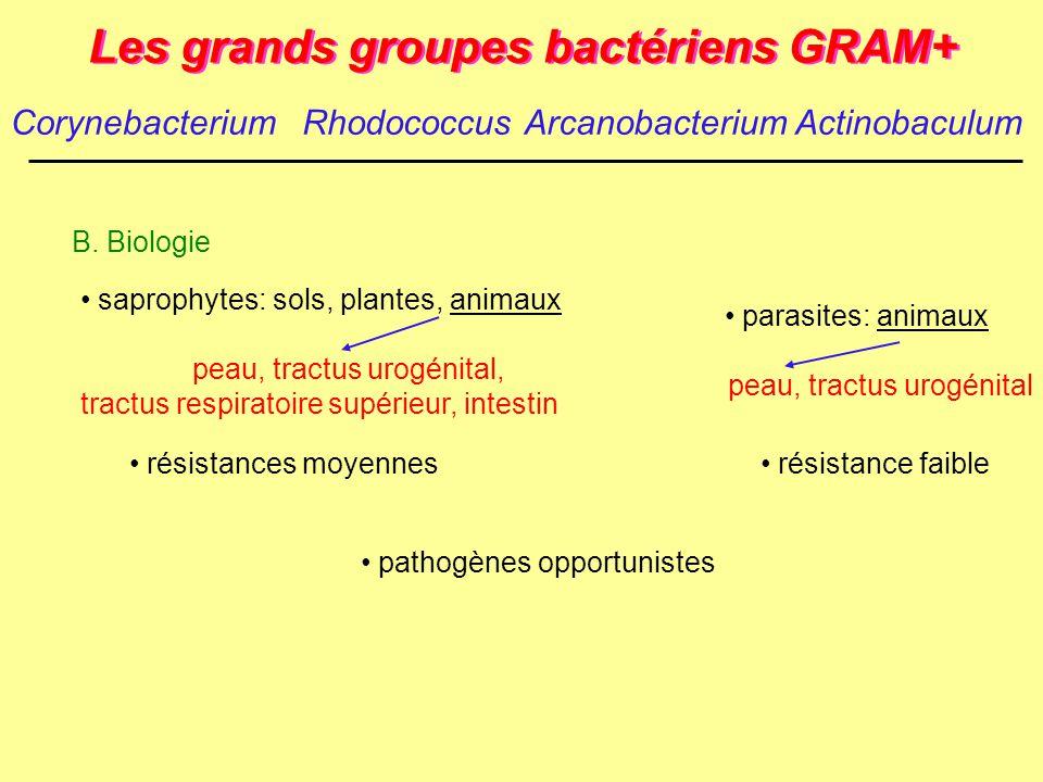 Les grands groupes bactériens GRAM+ B. Biologie résistance faible parasites: animaux peau, tractus urogénital résistances moyennes saprophytes: sols,