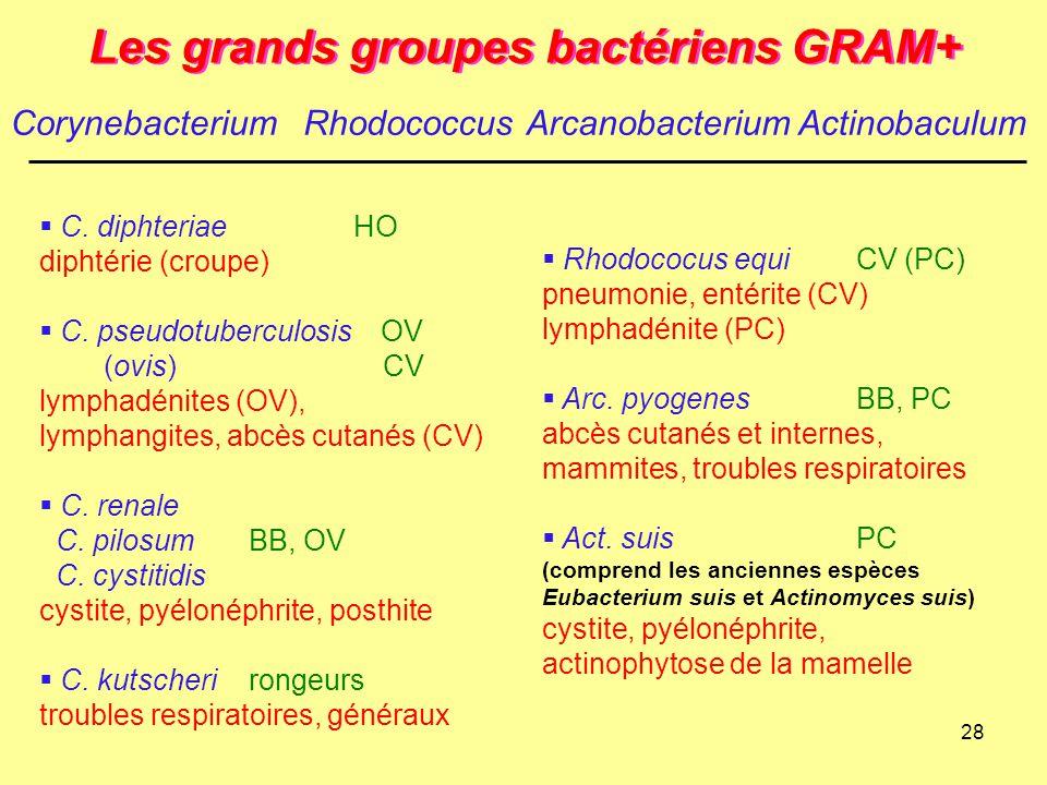28 Les grands groupes bactériens GRAM+  C. diphteriaeHO diphtérie (croupe)  C. pseudotuberculosis OV (ovis) CV lymphadénites (OV), lymphangites, abc