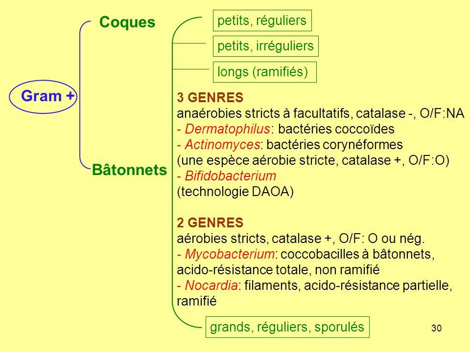30 3 GENRES anaérobies stricts à facultatifs, catalase -, O/F:NA - Dermatophilus: bactéries coccoïdes - Actinomyces: bactéries corynéformes (une espèc