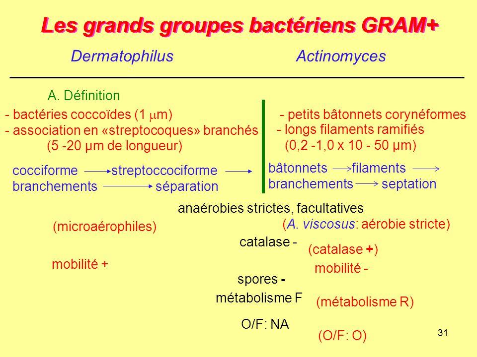 31 Les grands groupes bactériens GRAM+ DermatophilusActinomyces A. Définition spores - cocciforme streptoccociforme branchementsséparation bâtonnets f
