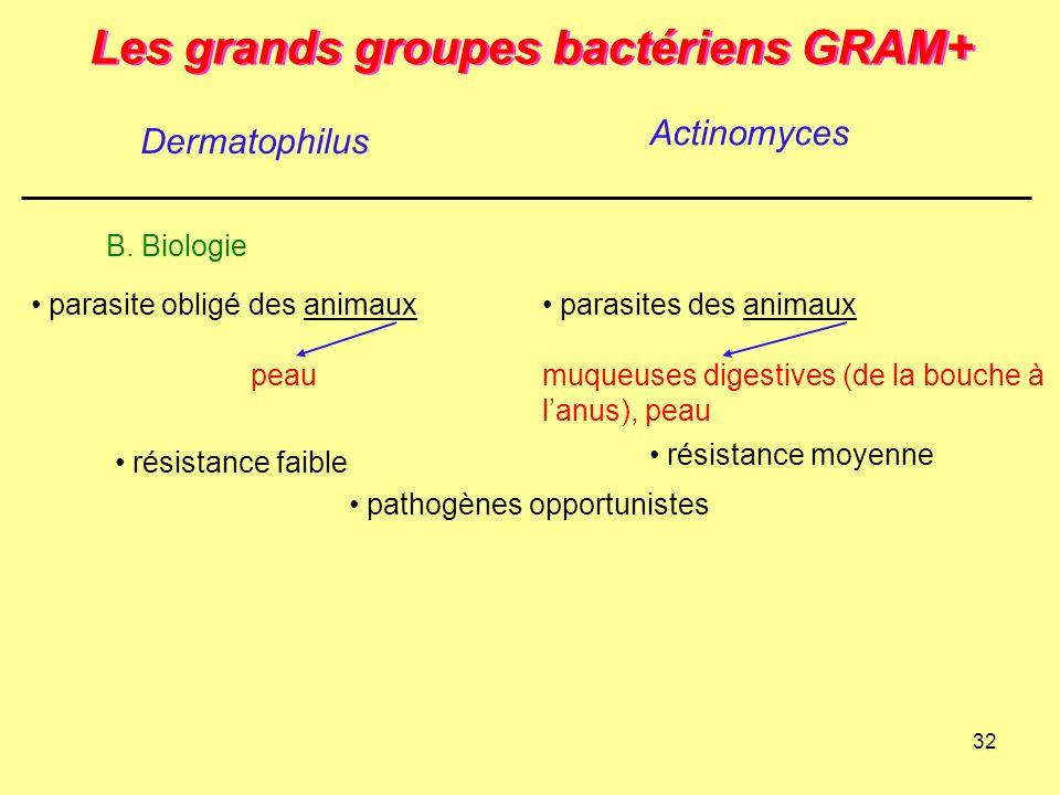 32 Les grands groupes bactériens GRAM+ Dermatophilus Actinomyces B. Biologie pathogènes opportunistes résistance moyenne parasites des animaux muqueus