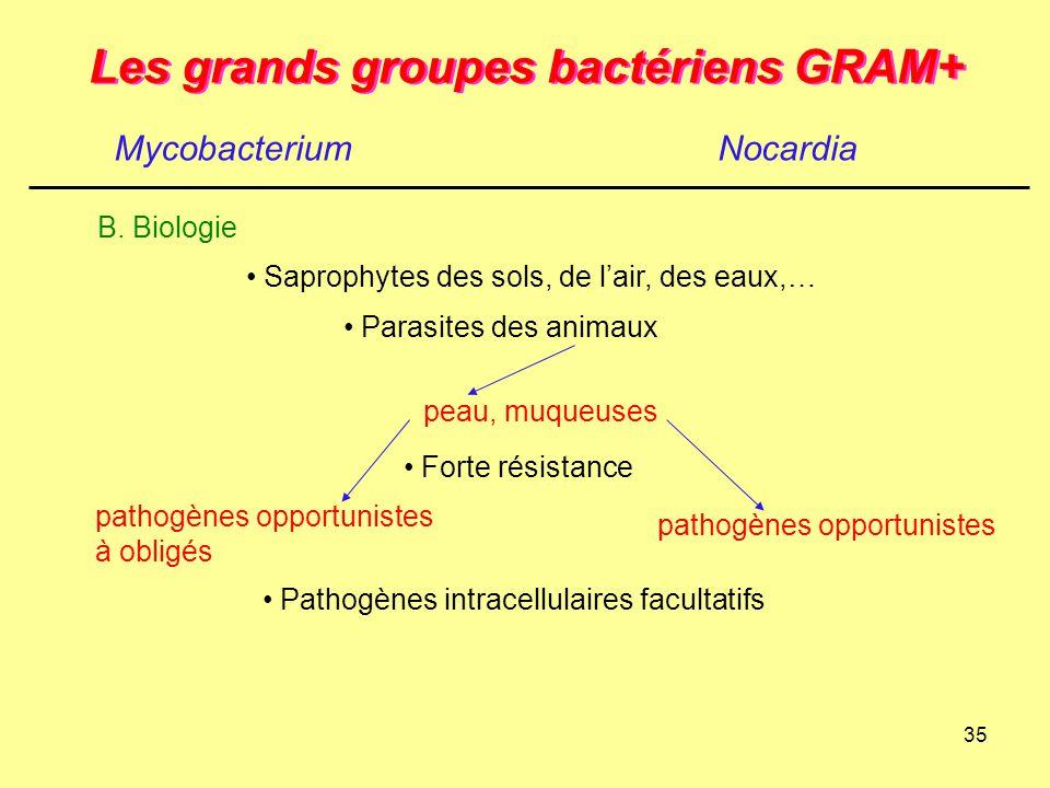35 Les grands groupes bactériens GRAM+ MycobacteriumNocardia B. Biologie pathogènes opportunistes à obligés pathogènes opportunistes Saprophytes des s