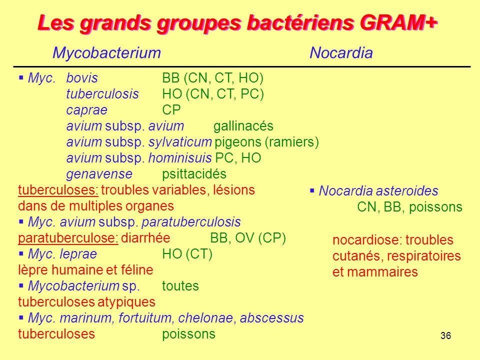 36 Les grands groupes bactériens GRAM+ MycobacteriumNocardia  Myc.bovis BB (CN, CT, HO) tuberculosisHO (CN, CT, PC) capraeCP avium subsp. avium galli