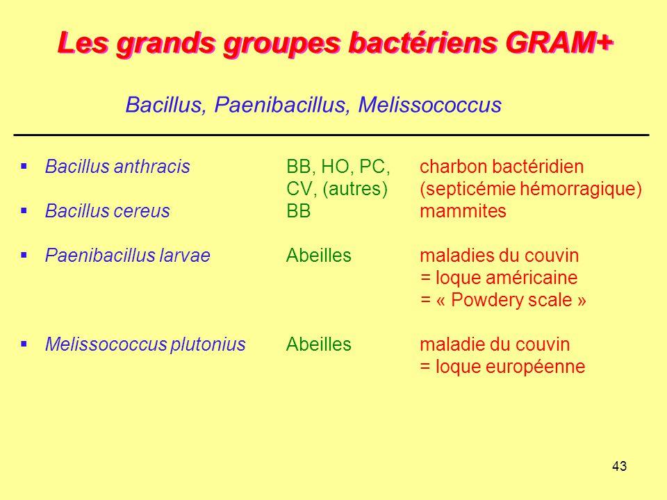 43 Les grands groupes bactériens GRAM+  Bacillus anthracisBB, HO, PC,charbon bactéridien CV, (autres)(septicémie hémorragique)  Bacillus cereusBBmam