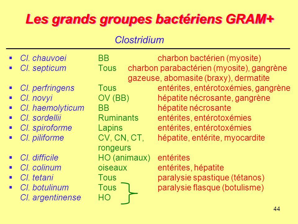 44 Les grands groupes bactériens GRAM+  Cl. chauvoei BBcharbon bactérien (myosite)  Cl. septicumTouscharbon parabactérien (myosite), gangrène gazeus
