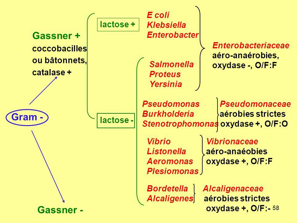 58 Gram - Gassner + coccobacilles ou bâtonnets, catalase + Gassner - E coli Klebsiella Enterobacter Salmonella Proteus Yersinia Pseudomonas Pseudomona