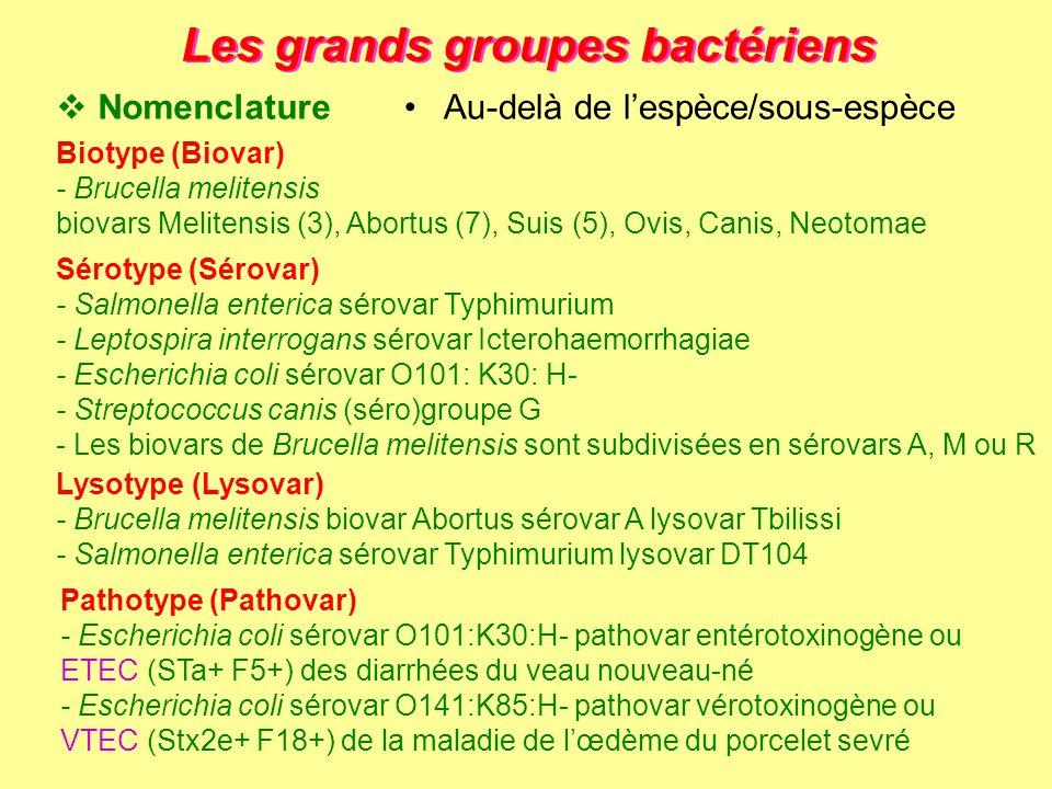 Les grands groupes bactériens Pathotype (Pathovar) - Escherichia coli sérovar O101:K30:H- pathovar entérotoxinogène ou ETEC (STa+ F5+) des diarrhées d