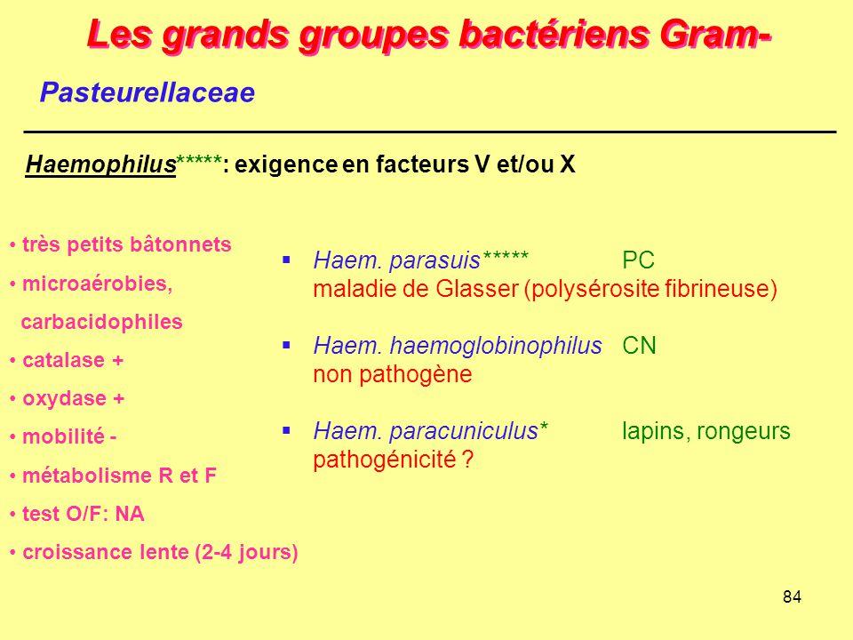 84 Les grands groupes bactériens Gram- Haemophilus*****: exigence en facteurs V et/ou X très petits bâtonnets microaérobies, carbacidophiles catalase