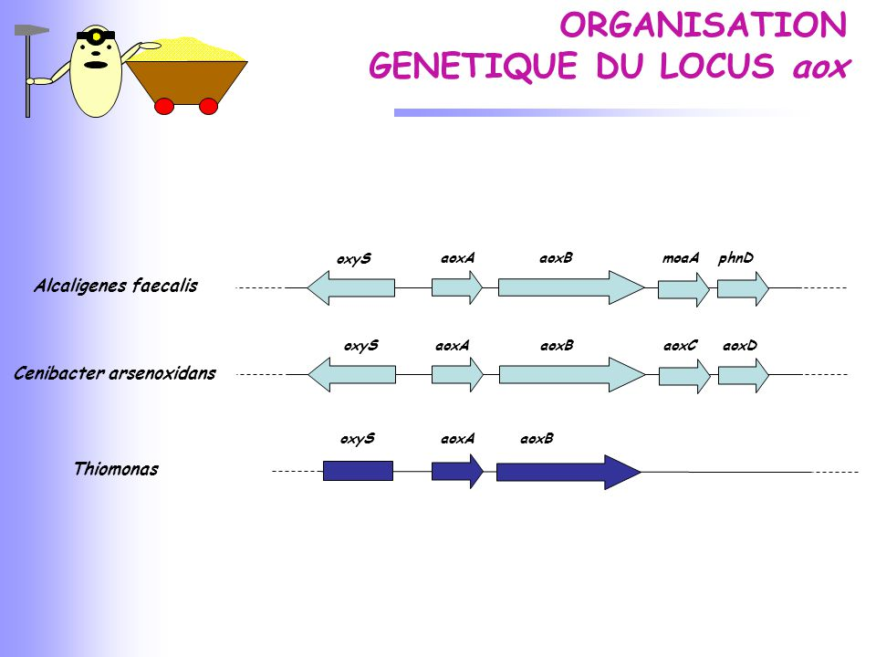 Cenibacter arsenoxidans Thiomonas aoxA aoxB aoxC aoxDoxyS aoxA aoxB moaA phnD oxyS aoxA aoxB Alcaligenes faecalis ORGANISATION GENETIQUE DU LOCUS aox