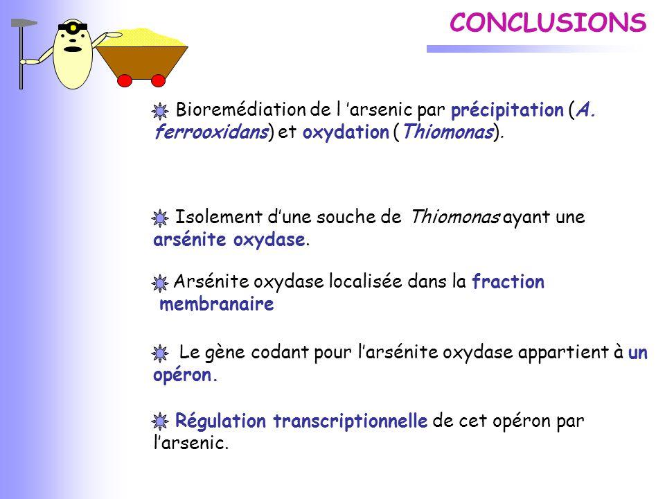 CONCLUSIONS Bioremédiation de l 'arsenic par précipitation (A. ferrooxidans) et oxydation (Thiomonas). Isolement d'une souche de Thiomonas ayant une a