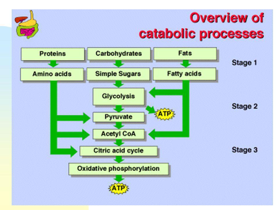 Métabolisme du tissu musculaire n Catabolisme du glucose : La glycolyse n Le cycle de Krebs n Contraction musculaire en aérobiose n Contraction musculaire en hypoxie