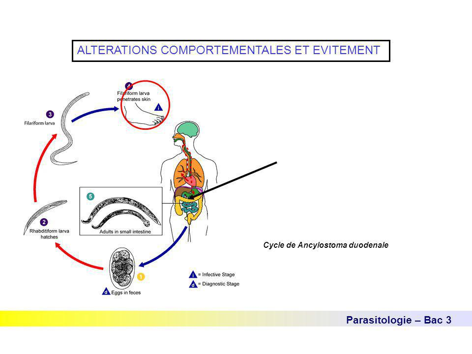 Parasitologie – Bac 3 ALTERATIONS COMPORTEMENTALES ET EVITEMENT Cycle de Ancylostoma duodenale