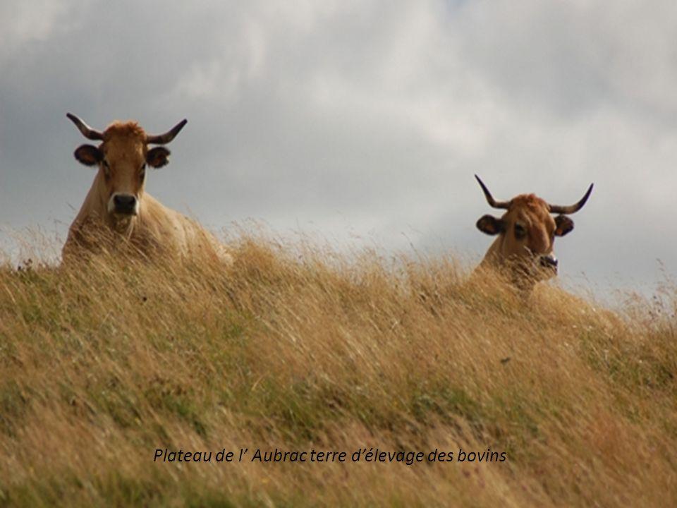 Plateau de l' Aubrac terre d'élevage des bovins
