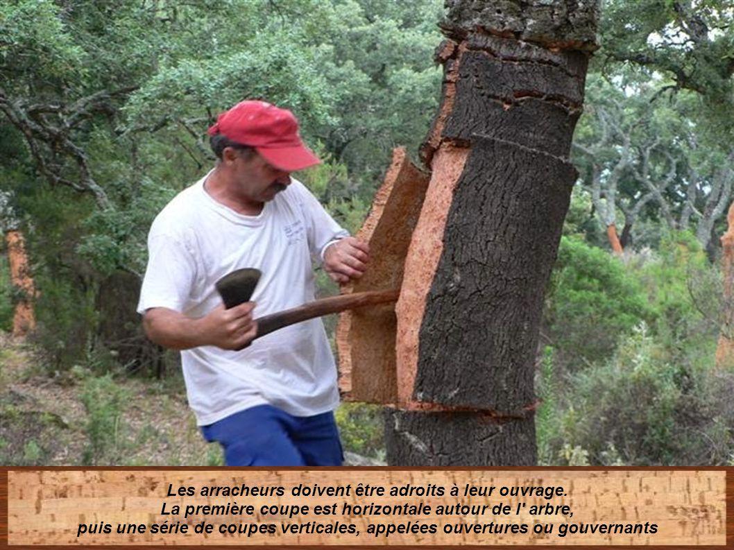 L' extraction se fait en été, moment le plus propice pour ne pas endommager l' arbre sous peine de non -reproduction