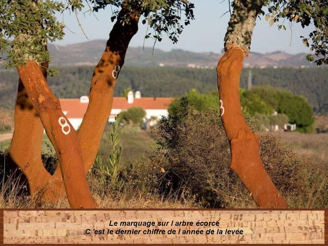 Si les coupes sont trop profondes le phallogène de l' arbre risque d étre endommagé Et c 'est la couche responsable du développement