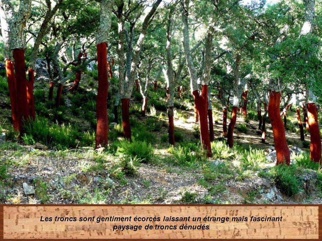 L' extraction du liège, n' entraîne jamais la mort de l' arbre