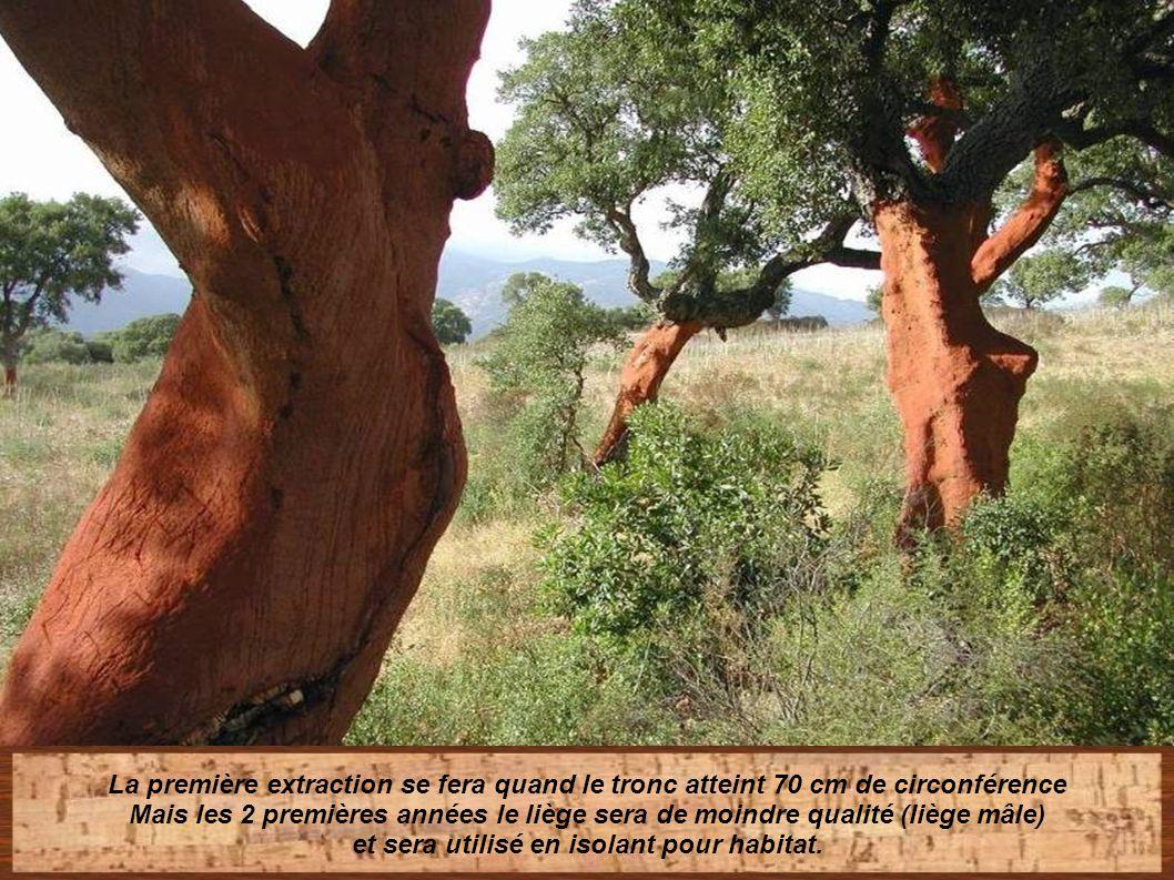 Les troncs sont gentiment écorcés laissant un étrange mais fascinant paysage de troncs dénudés