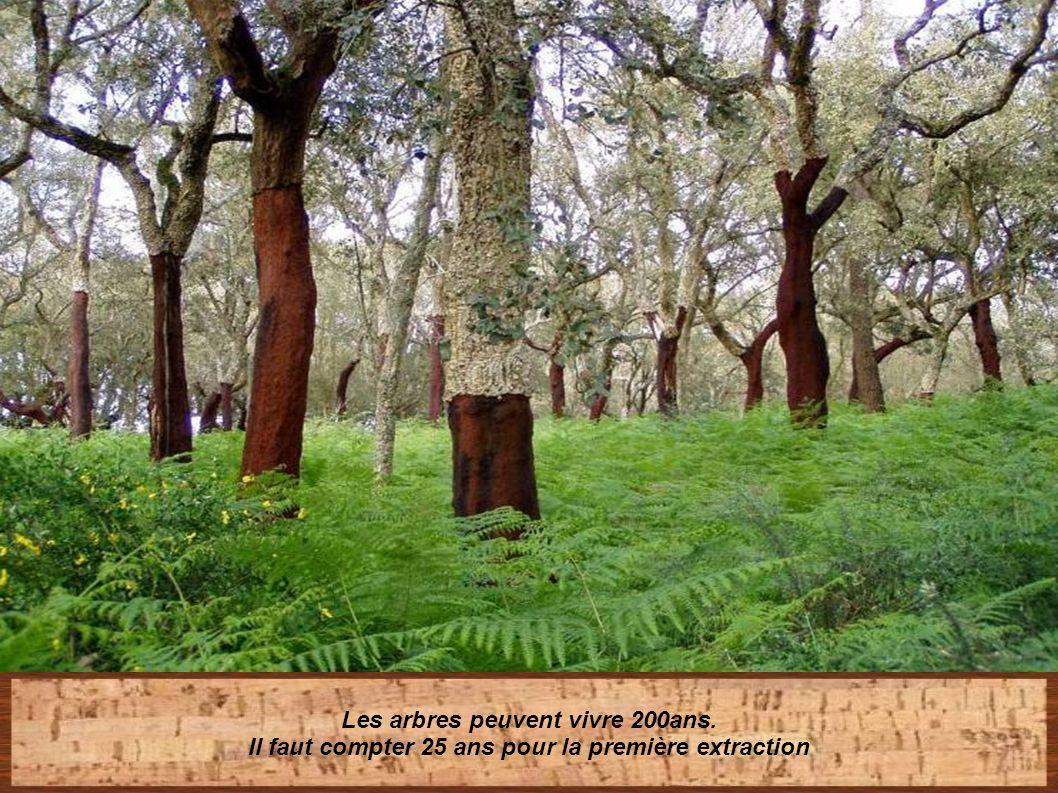 La première extraction se fera quand le tronc atteint 70 cm de circonférence Mais les 2 premières années le liège sera de moindre qualité (liège mâle)