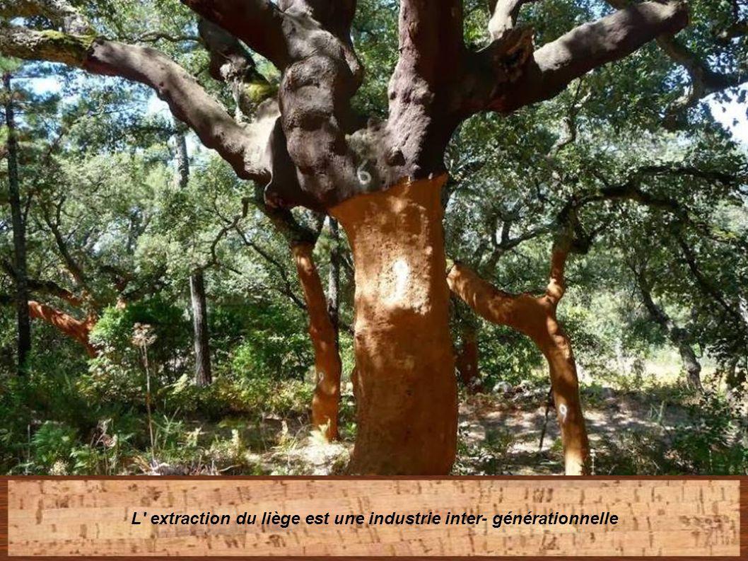 Puis l' arbre subit la loi des neufs années, durée nécessaire pour la reproduction de l écorce (liège Noble)