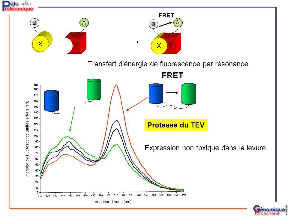 FRET Protease du TEV Longueur d'onde (nm) Intensité de fluorescence (unités arbitraires) A D Y A D Y X FRET X Expression non toxique dans la levure Tr