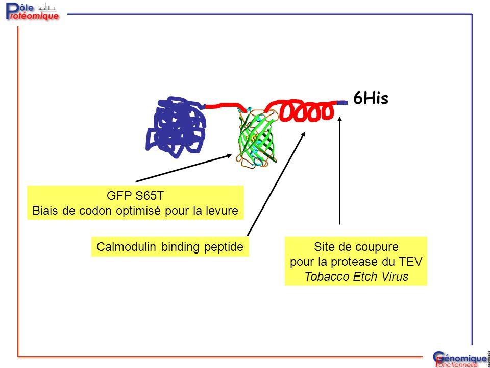 6His Calmodulin binding peptideSite de coupure pour la protease du TEV Tobacco Etch Virus GFP S65T Biais de codon optimisé pour la levure