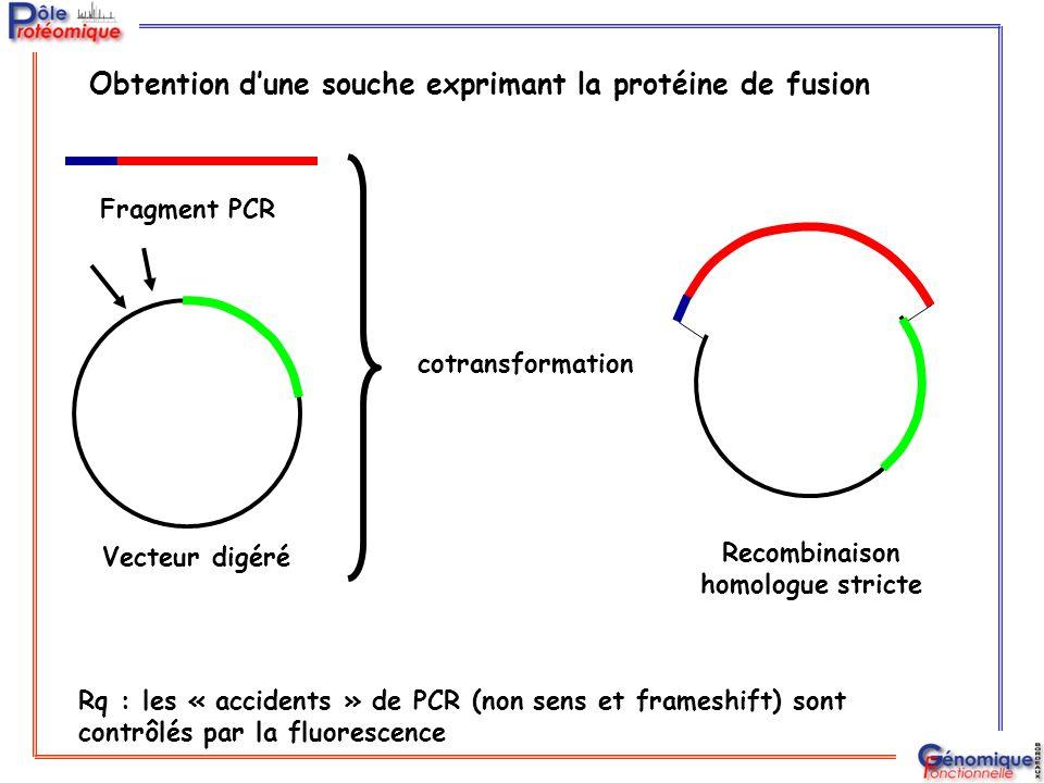 Fragment PCR Vecteur digéré cotransformation Recombinaison homologue stricte Rq : les « accidents » de PCR (non sens et frameshift) sont contrôlés par