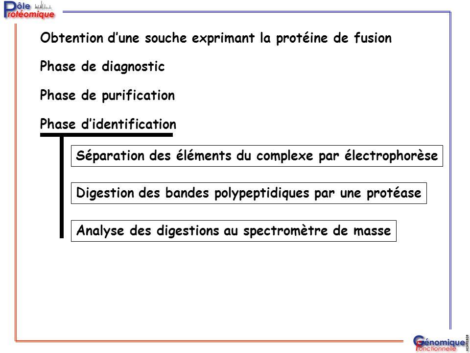 Phase de purification Phase d'identification Séparation des éléments du complexe par électrophorèse Digestion des bandes polypeptidiques par une proté