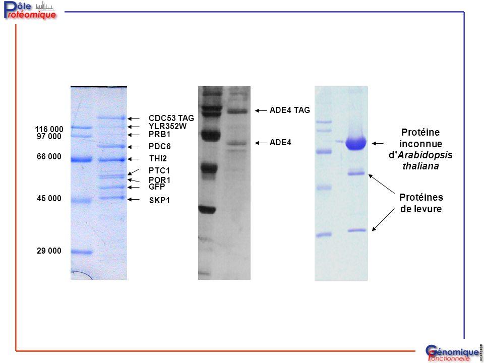 116 000 97 000 66 000 45 000 29 000 PDC6 PTC1 PRB1 POR1 THI2 YLR352W SKP1 CDC53 TAG GFP ADE4 ADE4 TAG Protéine inconnue d'Arabidopsis thaliana Protéin