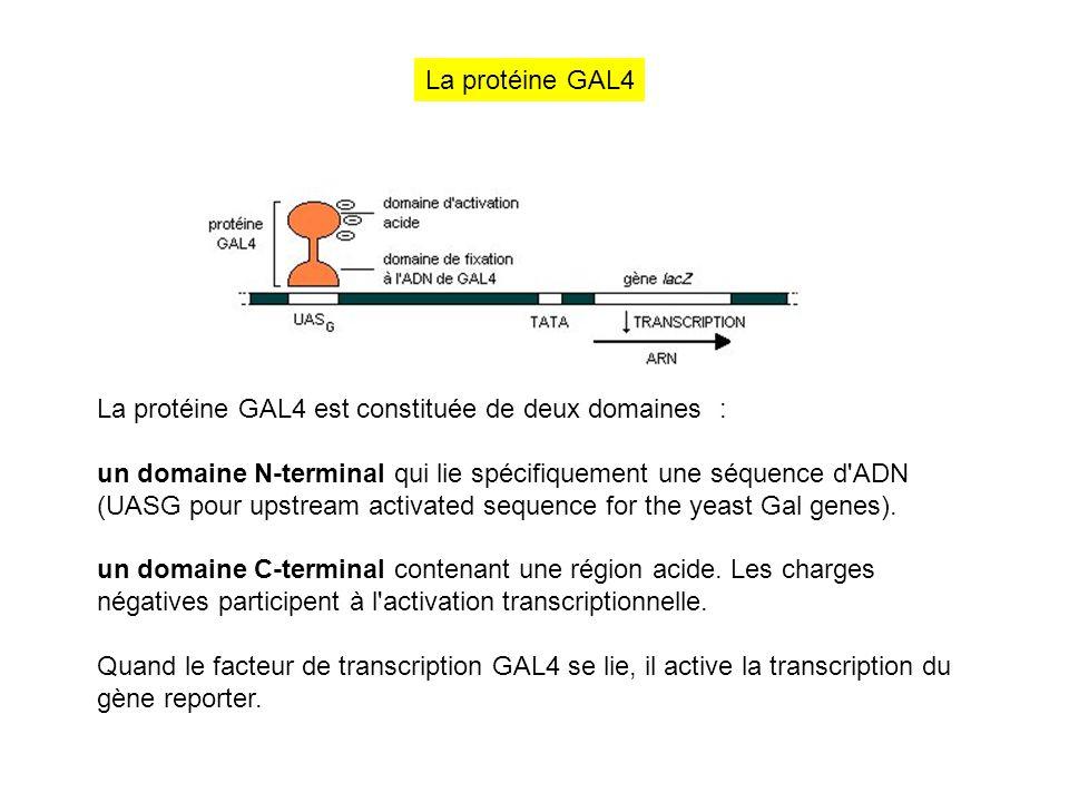La protéine GAL4 est constituée de deux domaines : un domaine N-terminal qui lie spécifiquement une séquence d'ADN (UASG pour upstream activated seque