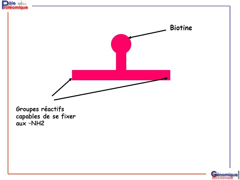 Biotine Groupes réactifs capables de se fixer aux –NH2
