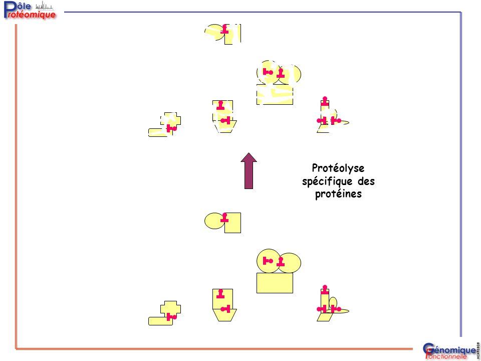 Protéolyse spécifique des protéines