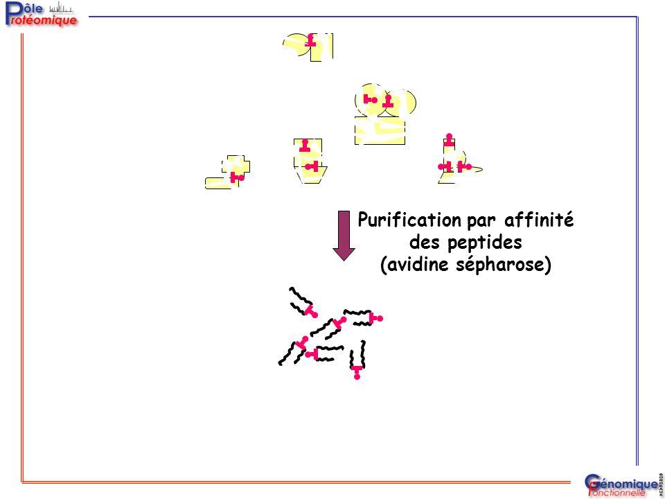 Purification par affinité des peptides (avidine sépharose)