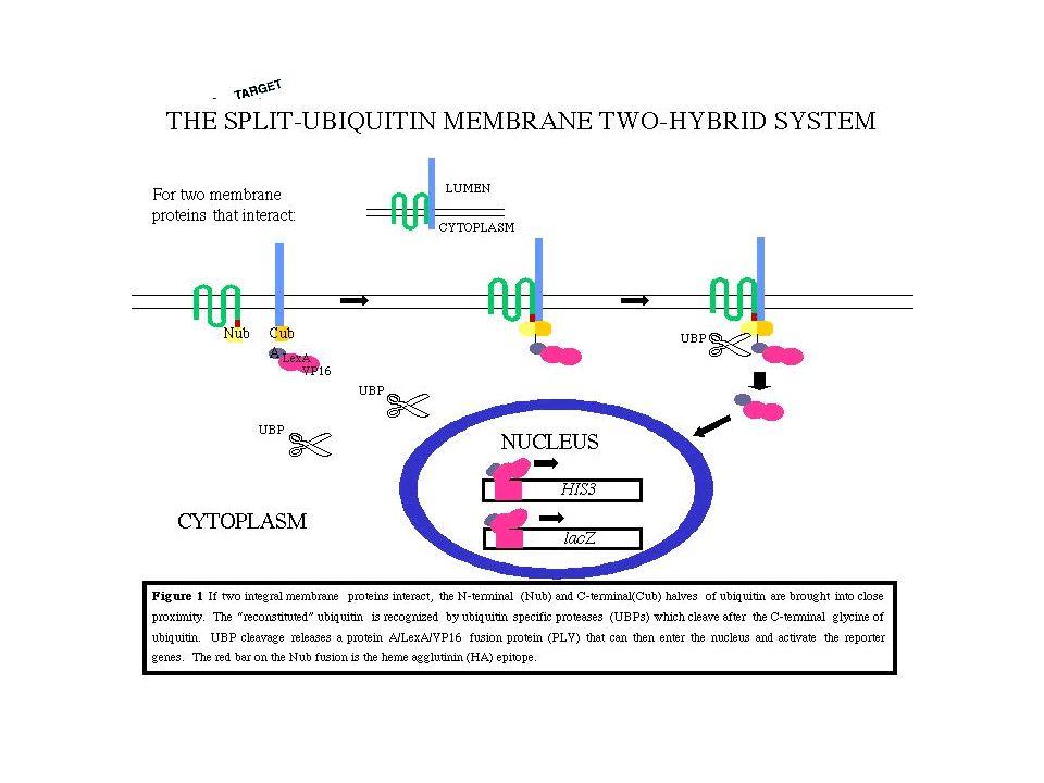 NOM Copurification de protéines