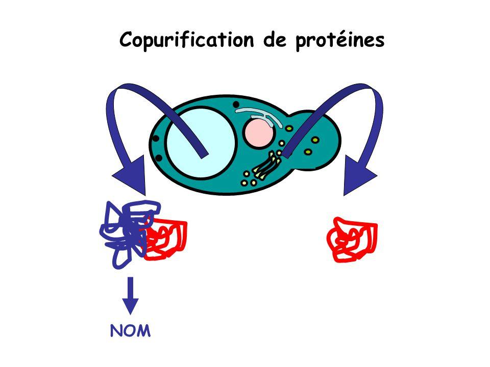3 méthodologies : Copurification de protéines étiquetées (proposé en service et en développement Helicobacter pilori) Séparation des complexes stabilisés par chromatographie liquide bidimensionnelle Purification et identification des peptides impliqués dans les complexes protéiques (stade du développement de la molécule)
