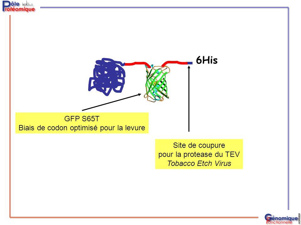 FRET Protease du TEV Longueur d'onde (nm) Intensité de fluorescence (unités arbitraires) A D Y A D Y X FRET X Expression non toxique dans la levure Transfert d'énergie de fluorescence par résonance